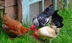 Free-range Chickens