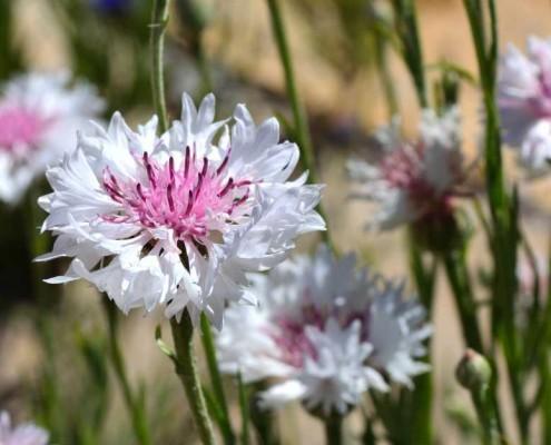 Heirloom Flowers