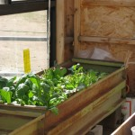 Growing Your Salad In A Container Garden