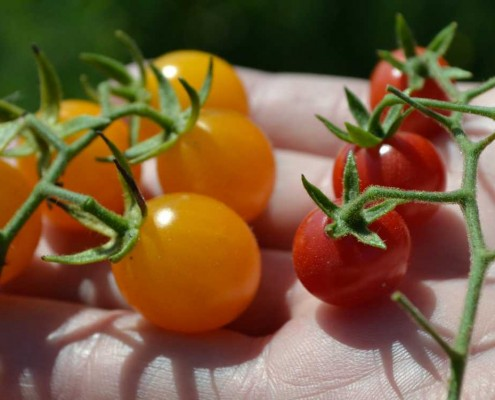 Sara's and Wild Galapagos Tomatoes Grown From Heirloom Seeds
