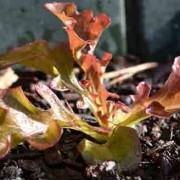Spring Leaf Lettuce