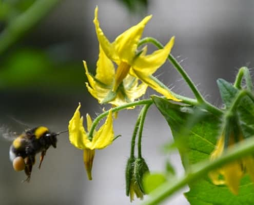 Heirloom Tomato Flower with Bee