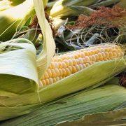 Heirloom Sweet Corn