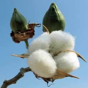 Bt or GMO Cotton