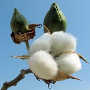 Bt or GMO Cotton