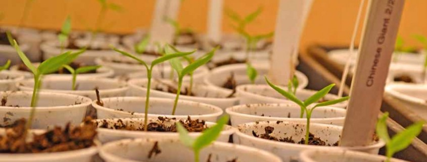 Heirloom Tomato Seedlings