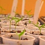 Pepper Seedlings
