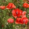 Blue Seed Opium Poppy