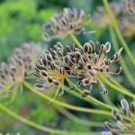 Mature Dill Seeds