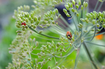 Green Dill with Ladybugs