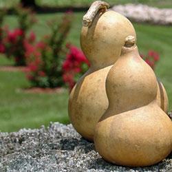 Mini Bottle Gourd