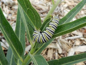 Monarch Larvea on Milkweed