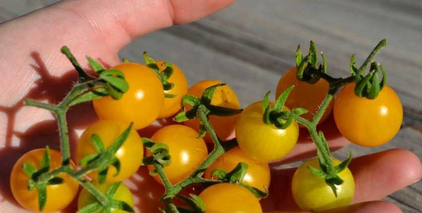 Wild Galapagos Tomato