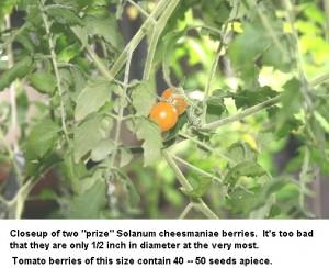 Wild Galapagos Tomato - Anchorage, AK
