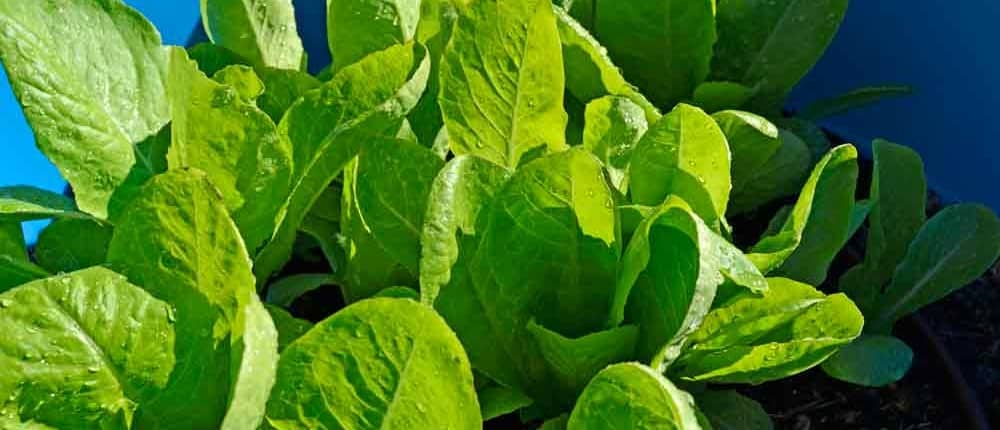 Jericho Heirloom Lettuce