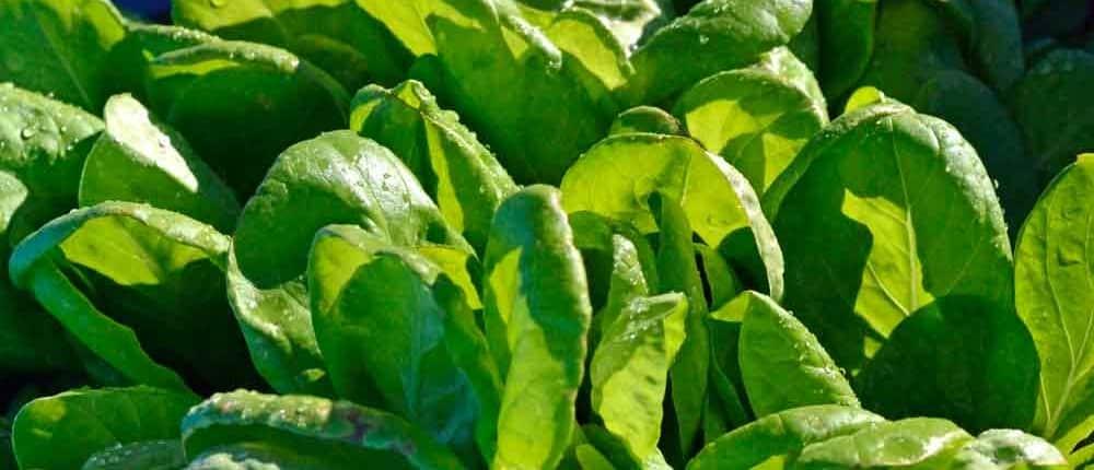 Saint Anne's Slow Bolting Heirloom Lettuce