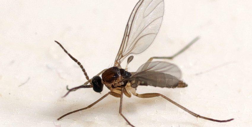 Fungus Gnat Closeup