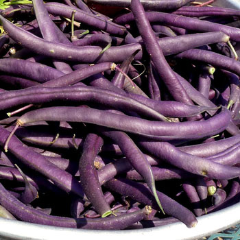 Royalty Purple Bush Bean