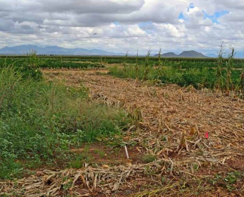 Corn Swath Isolation for Better Chiles