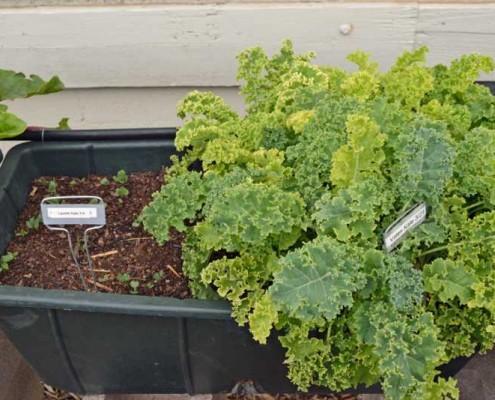 Kale Succession Planting