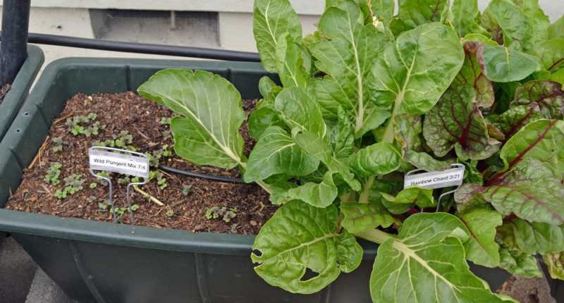 Swiss Chard Succession Plan