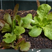 Gourmet Lettuce Blend