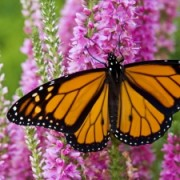 Monarch Butterfly Flower Mix
