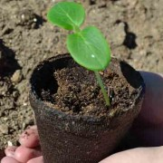 Cucumber Seedling Germination