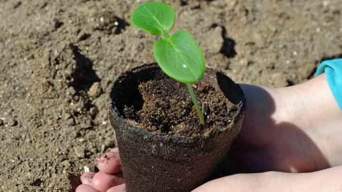 Cucumber Seedling Germination