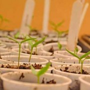 Heirloom Seedlings