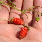 Alpine Strawberries in Hand