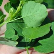 Papalo Leaves