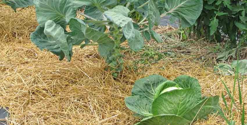 Intercrop Planting