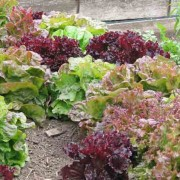 Intercropped Lettuces