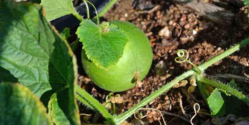 Vine Peach Mango Melon