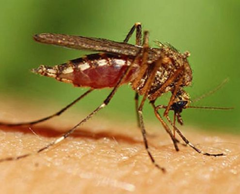 Biting Insect - Mosquito