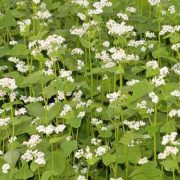 Buckwheat Cover Crops