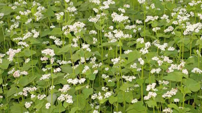 Buckwheat Cover Crops