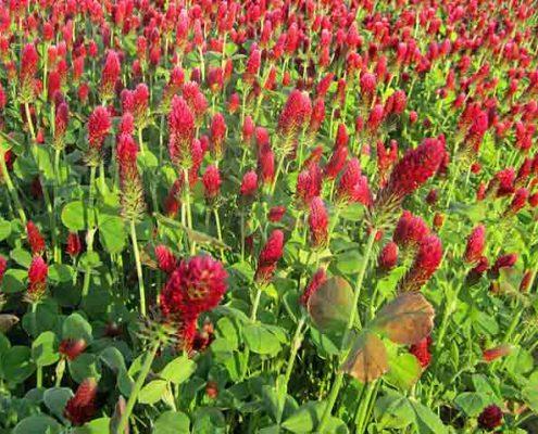Crimson Clover Cover Crops