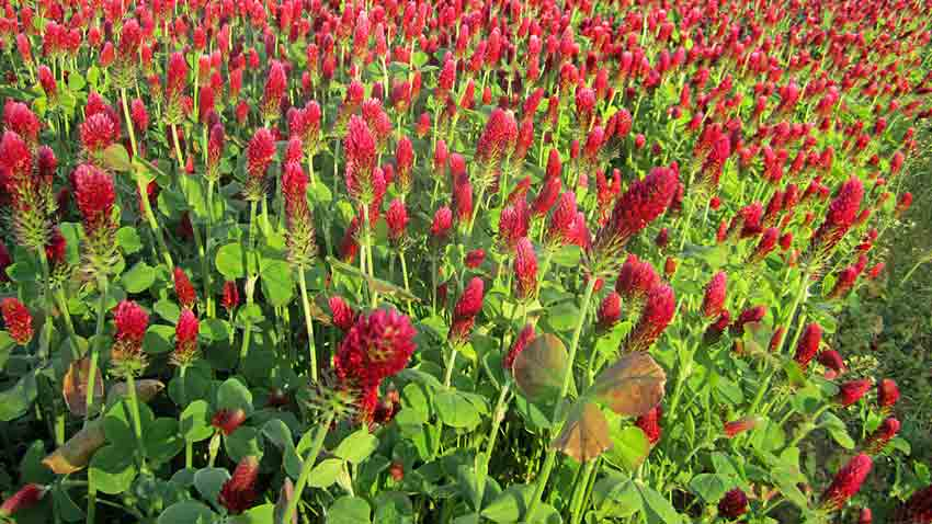 Planting Cover Crops for a Better Garden Terroir Seeds