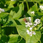 Bee on Buckwheat Blossoms