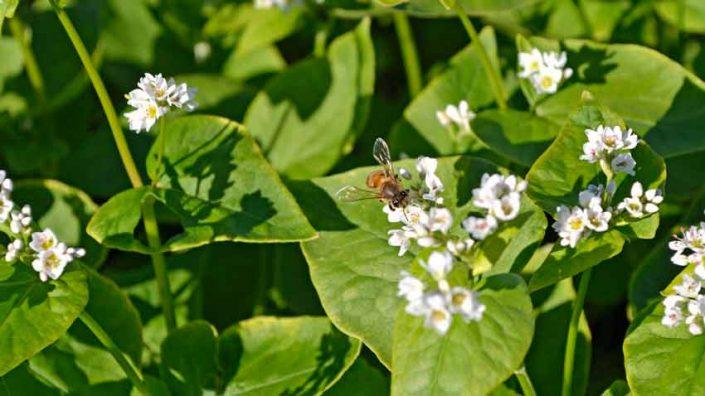 Bee on Buckwheat Blossoms