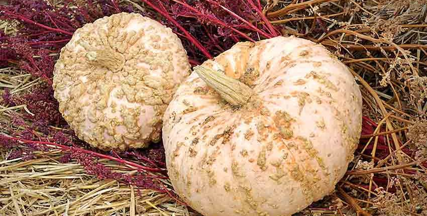 Galeux d'Eysines Pumpkins