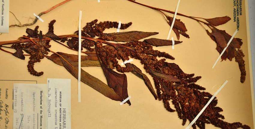 Herbarium Amaranth