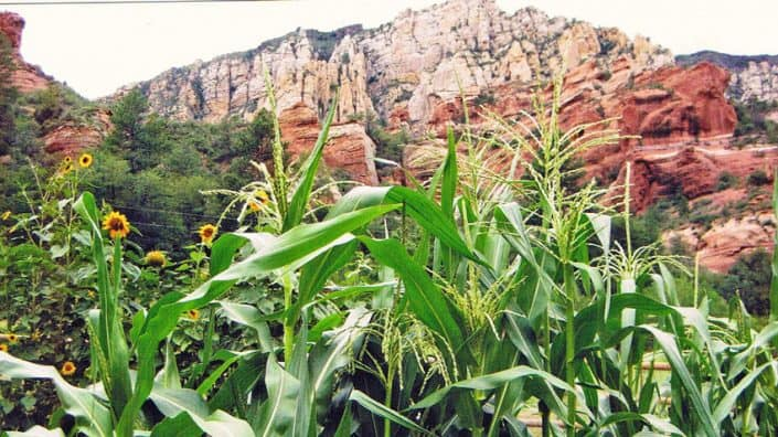 Heirloom Corn at Red Rock State Park
