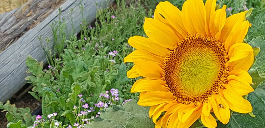 Spring Sunflower Cover Crop