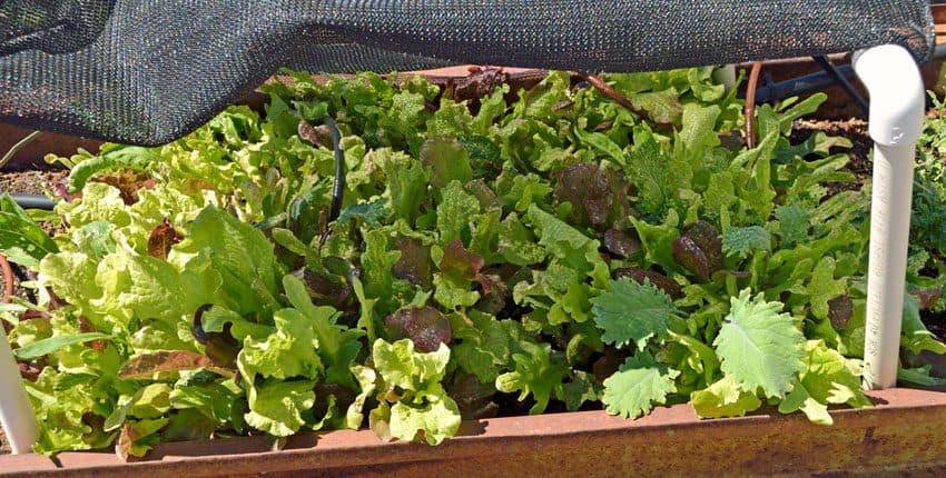 Lettuce Shade Update