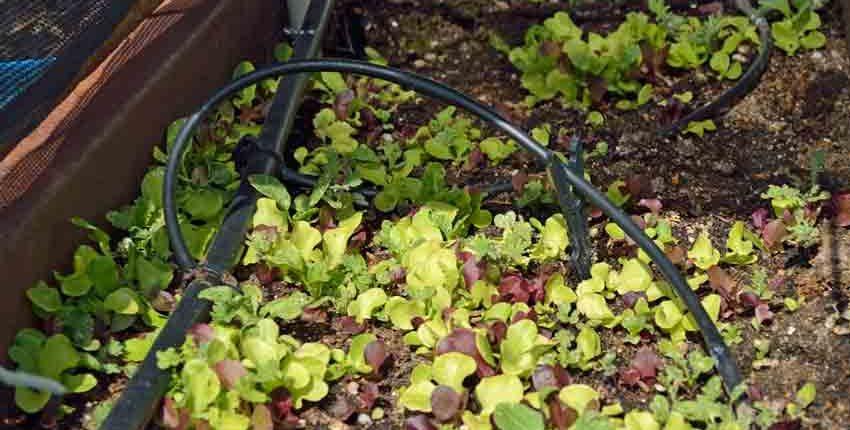 Lettuce Mulch, Shade & Drip System