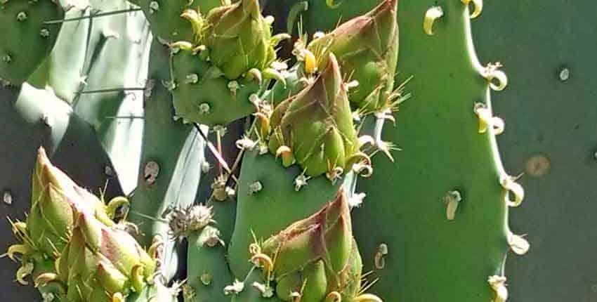 Prickly Pear Detail - Ethel M Botanic Garden