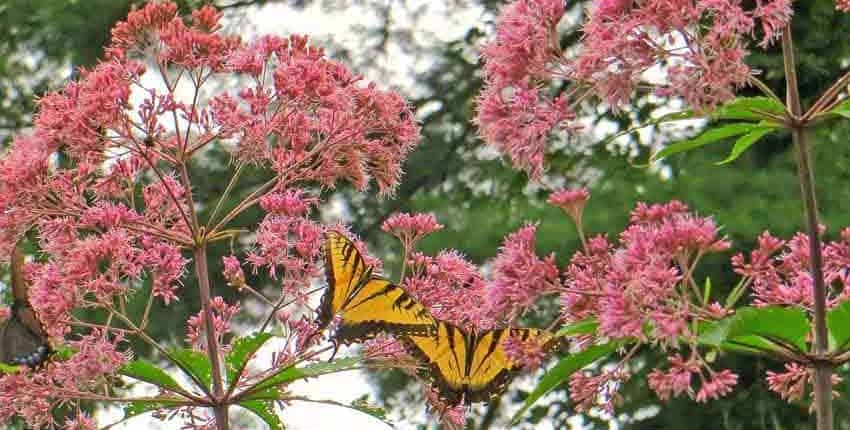 Joe Pye Weed with Swallowtails